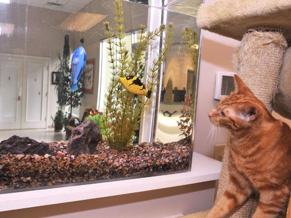Cat watching fish in aquarium