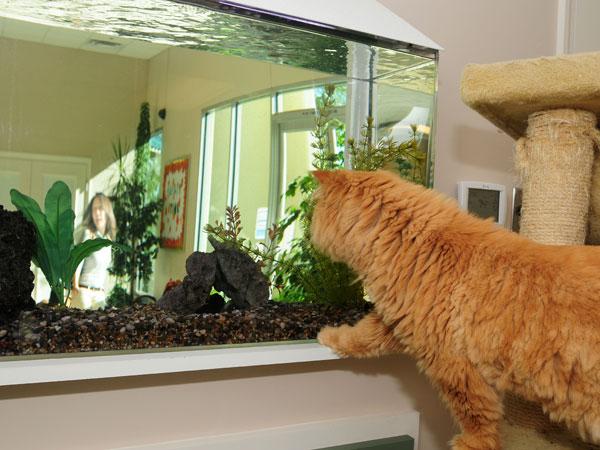 Orange cat looking at aquarium