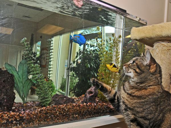 Grey cat looking at aquarium