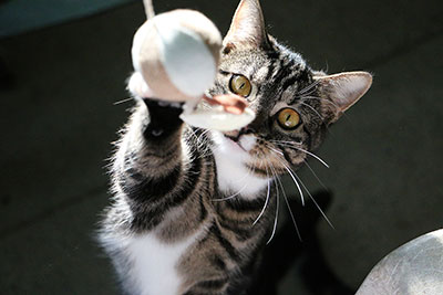 Cat playing with ball on a string