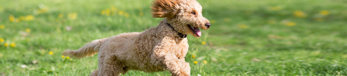 Poodle running through the grass