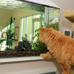 Orange cat looking at aquarium