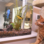 Cat watching fish in aquarium