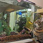 Grey cat looking at aquarium